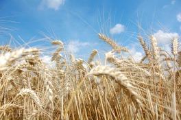 wheat-1651230_1920